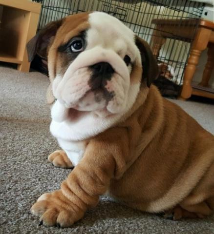 Regalo cachorros Bulldog Inglés de 11 semanas
