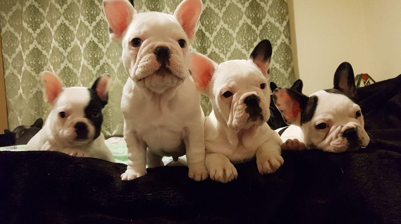 Bulldogs franceses disponibles